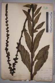 Verbascum virgatum herbarium specimen from West Looe, VC2 East Cornwall in 1900 by Mr Allan Octavian Hume.