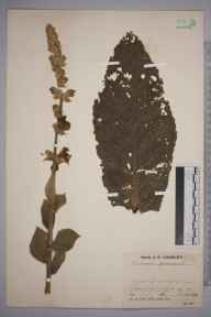 Verbascum  herbarium specimen from Mildenhall, VC26 West Suffolk in 1938 by Mr Job Edward Lousley.