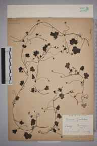 Cymbalaria muralis herbarium specimen from Tandridge, VC17 Surrey in 1939 by Edward Benedict Bangerter.