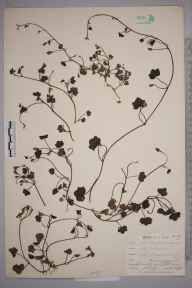 Cymbalaria muralis herbarium specimen from Lostwithiel, Restormel Castle, VC2 East Cornwall in 1901 by Mr Allan Octavian Hume.