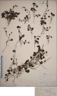 Cymbalaria muralis herbarium specimen from Lewes, VC14 East Sussex in 1842 by Joseph Woods.