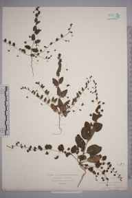 Kickxia spuria herbarium specimen from Lizard, VC1 West Cornwall in 1874 by Mr William Booth Waterfall.