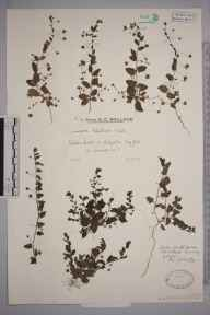 Kickxia elatine herbarium specimen from Colgate, VC13 West Sussex in 1930 by Mr Edward Charles Wallace.