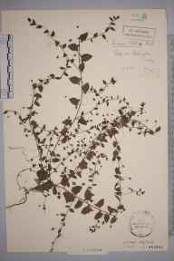 Cymbalaria muralis herbarium specimen from Addington, VC17 Surrey in 1908 by Stafford Edwin Chandler.