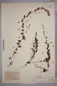 Cymbalaria muralis herbarium specimen from Wickham Bishops, VC19 North Essex in 1878 by Hugh Neville Dixon.