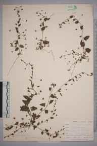 Cymbalaria muralis herbarium specimen from Saint Anthony in Roseland, VC2 East Cornwall in 1899 by Mr Allan Octavian Hume.