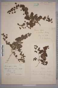 Kickxia spuria herbarium specimen from Witley, VC17 Surrey in 1892 by Rev. Edward Shearburn Marshall.