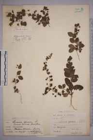 Kickxia spuria herbarium specimen from Coggeshall, Essex in 1902 by William Robert Sherrin.