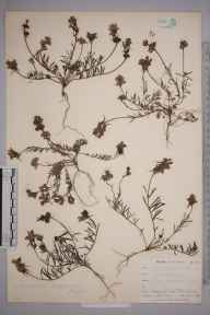 Linaria supina herbarium specimen from Par Sands, VC2 East Cornwall in 1899 by Mr Allan Octavian Hume.