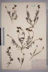 Linaria supina herbarium specimen from Par, VC2 East Cornwall in 1910 by Mr Frederick Hamilton Davey.