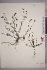 Linaria supina herbarium specimen from Cattedown, VC3 South Devon in 1884 by Mr James Walter White.