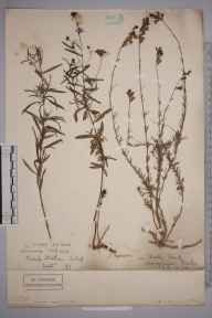 Linaria repens herbarium specimen from Church Stretton, VC40 Shropshire in 1890.