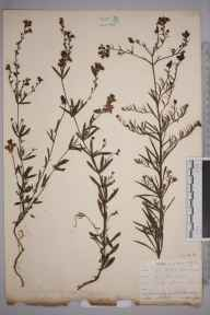 Linaria repens herbarium specimen from Par Harbour, VC2 East Cornwall in 1901 by Mr Allan Octavian Hume.