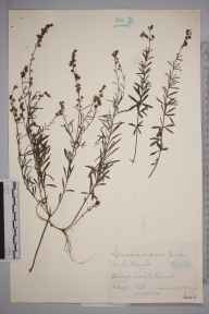 Linaria repens herbarium specimen from Cowes, VC10 Isle of Wight in 1938 by James Walter Long.