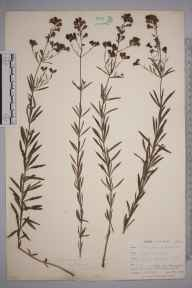 Linaria repens herbarium specimen from Ponsanooth, VC1 West Cornwall in 1899 by Mr Allan Octavian Hume.