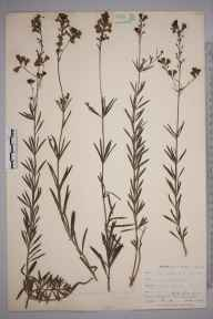 Linaria repens herbarium specimen from Penryn, VC1 West Cornwall in 1899 by Mr Allan Octavian Hume.
