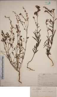 Linaria repens herbarium specimen from Bandon, VCH3,VCH4 in 1855 by George James Allman.