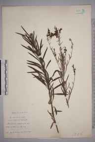 Linaria repens herbarium specimen from Guernsey,Pleimont, VC113 Channel Islands in 1895 by Rev. Arthur George Gregor.