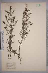 Linaria repens herbarium specimen from Par, VC2 East Cornwall in 1921 by William Robert Sherrin.