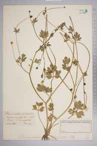 Ranunculus sardous herbarium specimen from New Chapel, VC17 Surrey in 1888.