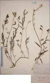 Linaria vulgaris x repens = L. x sepium herbarium specimen from Cowes, VC10 Isle of Wight in 1846 by Mr Frederick Townsend.
