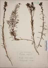 Linaria vulgaris herbarium specimen from Chenies, VC24 Buckinghamshire in 1937 by Edward Benedict Bangerter.