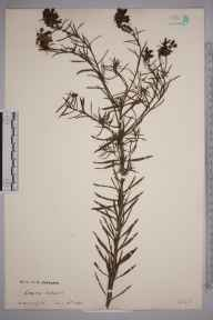 Linaria vulgaris herbarium specimen from Andoversford, VC33 East Gloucestershire in 1888.