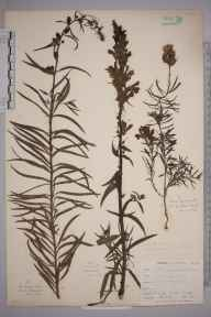Linaria vulgaris herbarium specimen from Cadgwith, VC1 West Cornwall in 1899 by Mr Allan Octavian Hume.