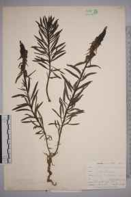 Linaria vulgaris herbarium specimen from Par, VC2 East Cornwall in 1899 by Mr Allan Octavian Hume.