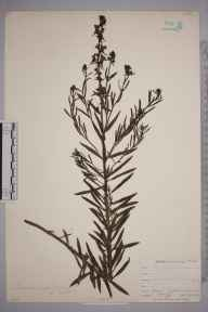 Linaria vulgaris herbarium specimen from Swanscombe, VC16 West Kent in 1903 by William Henry Griffin.