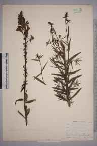 Linaria vulgaris herbarium specimen from Loe Pool, VC1 West Cornwall in 1899 by Mr Allan Octavian Hume.
