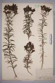 Linaria vulgaris herbarium specimen from Beachy Head, VC14 East Sussex in 1909 by Mr Allan Octavian Hume.