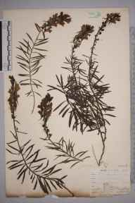 Linaria vulgaris herbarium specimen from Saint Mary Cray, VC16 West Kent in 1898 by Mr Allan Octavian Hume.