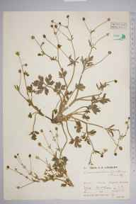 Ranunculus sardous herbarium specimen from Iford, VC14 East Sussex in 1931 by Mr Job Edward Lousley.