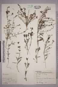 Linaria  herbarium specimen from Merton, VC17 Surrey in 1957 by Charles Avery.