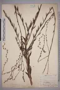 Linaria  herbarium specimen from Plumstead, VC16 West Kent in 1907 by William Henry Griffin.