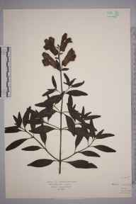 Antirrhinum majus herbarium specimen from Oxhey, VC20 Hertfordshire in 1922 by Mr Isaac A Helsby.