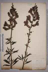 Antirrhinum majus herbarium specimen from Ponsanooth, VC1 West Cornwall in 1901 by Mr Allan Octavian Hume.