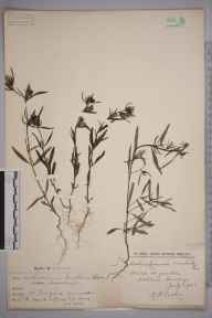 Misopates orontium herbarium specimen from Penzance, VC1 West Cornwall in 1899 by F W Terry.