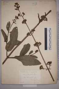 Scrophularia auriculata herbarium specimen from Ewood, VC17 Surrey in 1884 by Mr William Hadden Beeby.