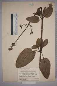 Scrophularia auriculata herbarium specimen from Lower Morden, VC17 Surrey in 1909 by Mr Charles Edward Britton.