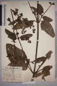 Scrophularia auriculata herbarium specimen from Weybridge, VC17 Surrey in 1930 by Mr Job Edward Lousley.
