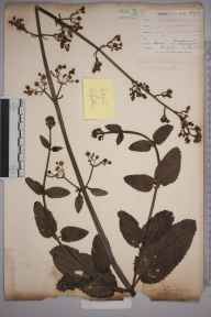 Scrophularia auriculata herbarium specimen from Crofton, Orpington, VC16 West Kent in 1902 by William Henry Griffin.