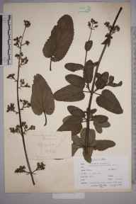 Scrophularia auriculata herbarium specimen from Uplyme, VC3 South Devon in 1937 by A H N Wight.