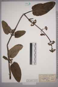 Scrophularia auriculata herbarium specimen from Great Bookham Common, VC17 Surrey in 1954 by Peter Charles Hall.
