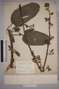 Scrophularia auriculata herbarium specimen from Chiswick, Duke's Meadows, VC21 Middlesex in 1939 by Edward Benedict Bangerter.