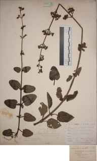 Scrophularia auriculata herbarium specimen from Loe Pool, VC1 West Cornwall in 1899 by Mr Allan Octavian Hume.