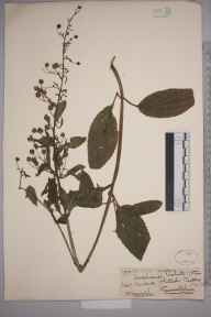 Scrophularia umbrosa herbarium specimen from Whitnash, VC38 Warwickshire in 1867 by Mr Henry Bromwich.