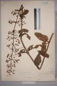 Scrophularia umbrosa herbarium specimen from Eastbourne, Wannock, VC14 East Sussex in 1846 by Joseph Woods.