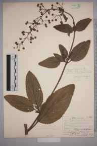 Scrophularia umbrosa herbarium specimen from Polegate, VC14 East Sussex in 1907 by Mr Allan Octavian Hume.